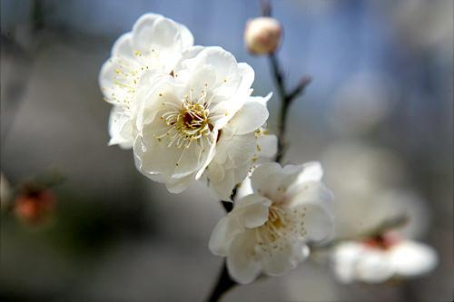 メファ(ウメ)見頃:3月下旬~4月上旬名所:清渓川(チョンゲチョン)、昌慶宮