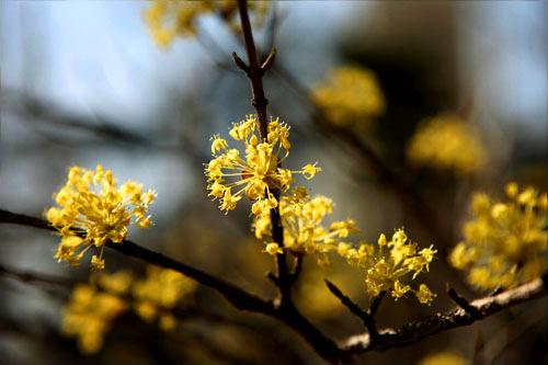 サンスユ(サンシュユ)見頃:3月下旬~4月上旬