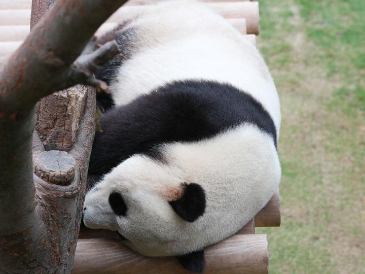 木のベッドで寝ている「愛宝」