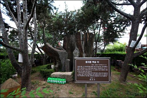 白松 天然記念物に指定されていた、白松の大木。90年に雷に倒れたが、周囲には新しい芽吹きも。(地図青1)