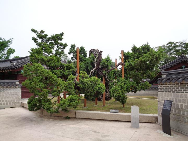 樹齢750年のイブキの巨木