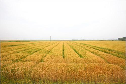 万頃平野。黄色く実っているのは収穫を迎える麦
