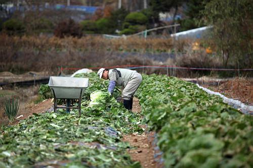 秋白菜はキムジャンペチュ(キムジャン白菜)の別名も。収穫に追われるソウル近郊・西五陵(ソオルン)の白菜畑。