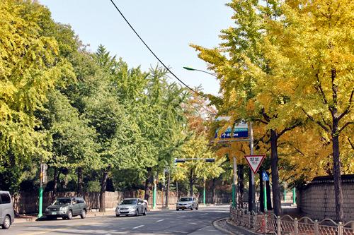 樹木園前の三叉路周辺は銀杏の木が多く、紅葉の名所