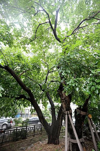 蚕院にある「蚕室里桑の木(ソウル市記念物第1号)」