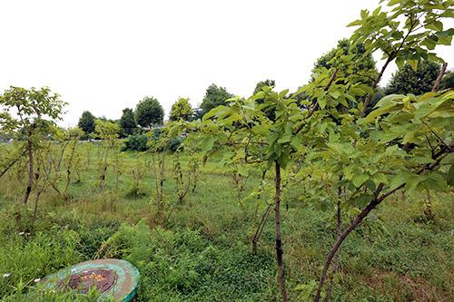蚕室大橋南端の東側に植えられた若い桑の木