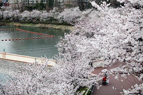 そのため、春になれば湖畔沿いに桜が咲き乱れます。