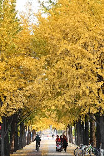 イチョウ(銀杏)空に向かってすくっと伸びるような樹形でお馴染み。秋はソウルのあちこちでギンナンの香りが漂うと言ってよいほど街路樹として人気。