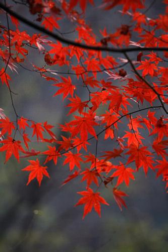 カエデ(楓)紅葉の代表的な存在。市内では公園でよく見られ、特に古宮では樹齢の古い立派な大木があり、建物との調和が美しい景観を作ります。
