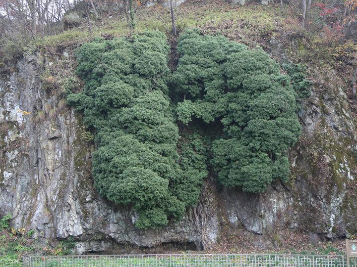 岩壁を覆う立派なソンアク(キヅタ)