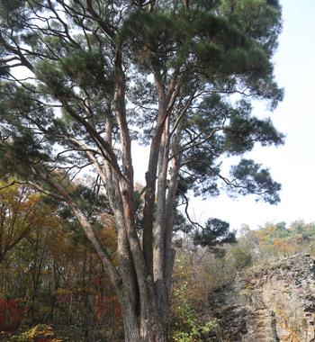 推定樹齢600年の長沙松
