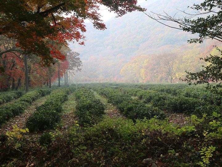 チャングムとミン・ジョンホが愛を確かめ合った茶畑